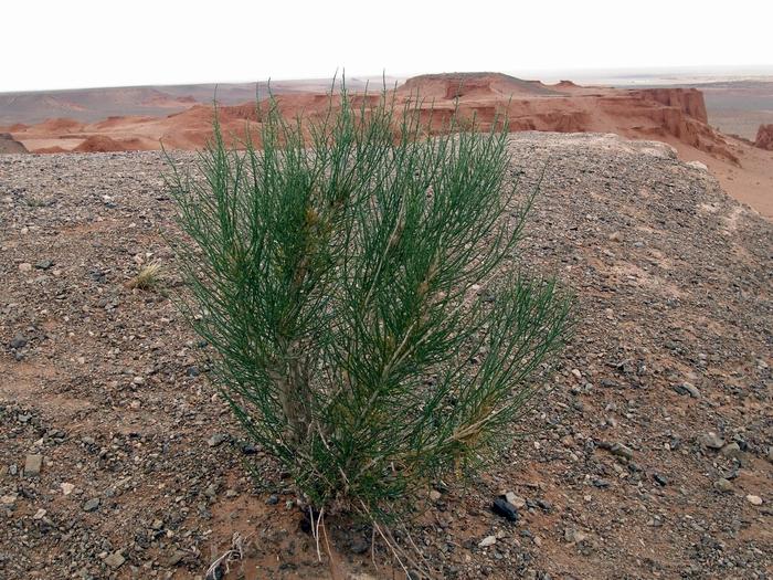 Ботаническая экспедиция в пустыню Гоби