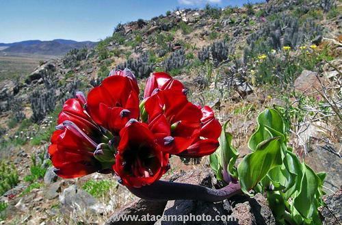 Цветок чили